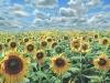 floarea-soarelui2009_0